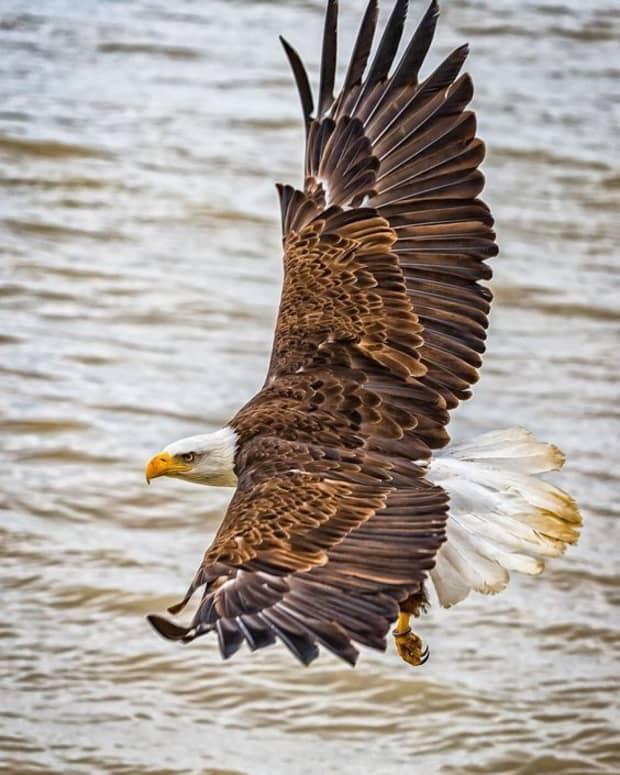 majestic-eagles