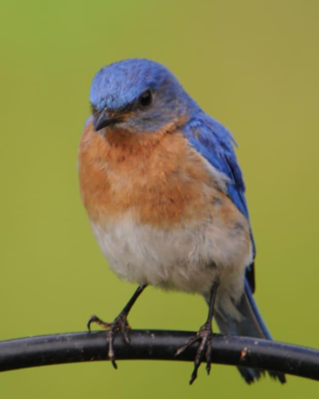 attracting-bluebirds-into-your-garden