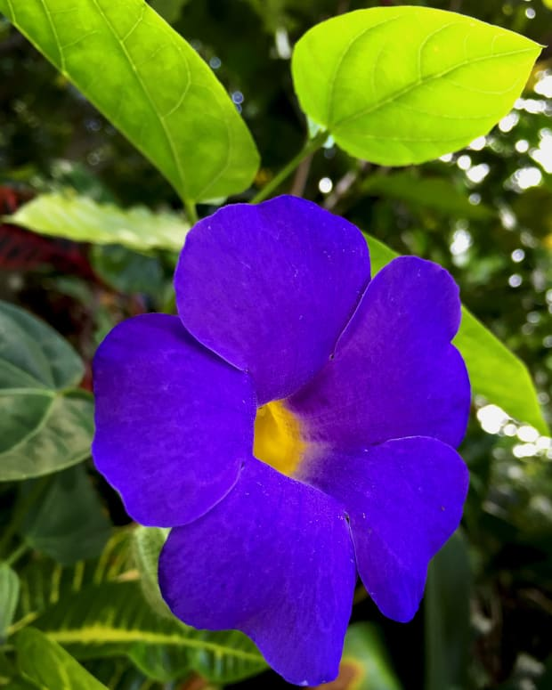 5-easy-to-grow-tropical-vines-with-dazzling-blue-flowers