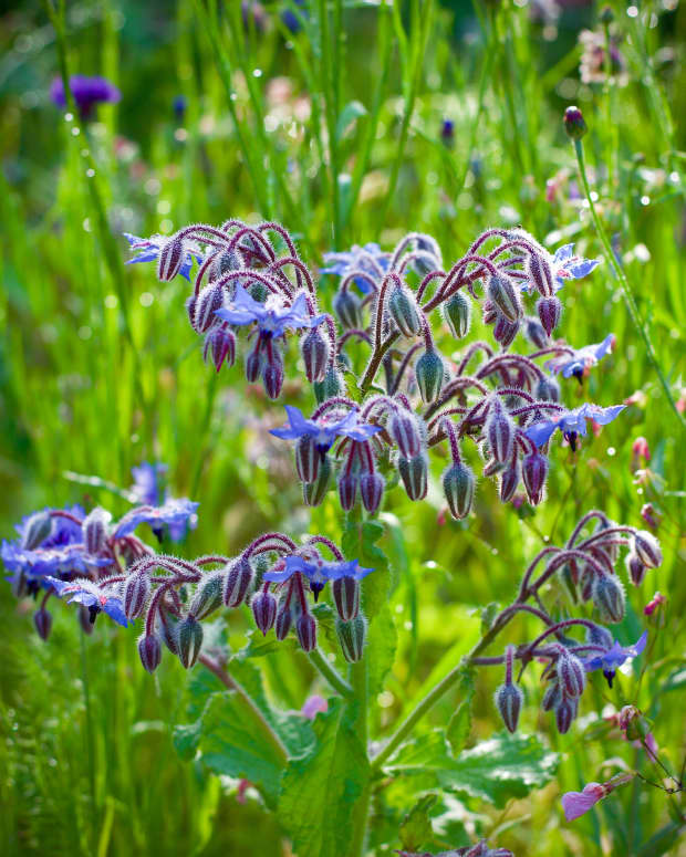 health-benefits-and-other-uses-for-borage