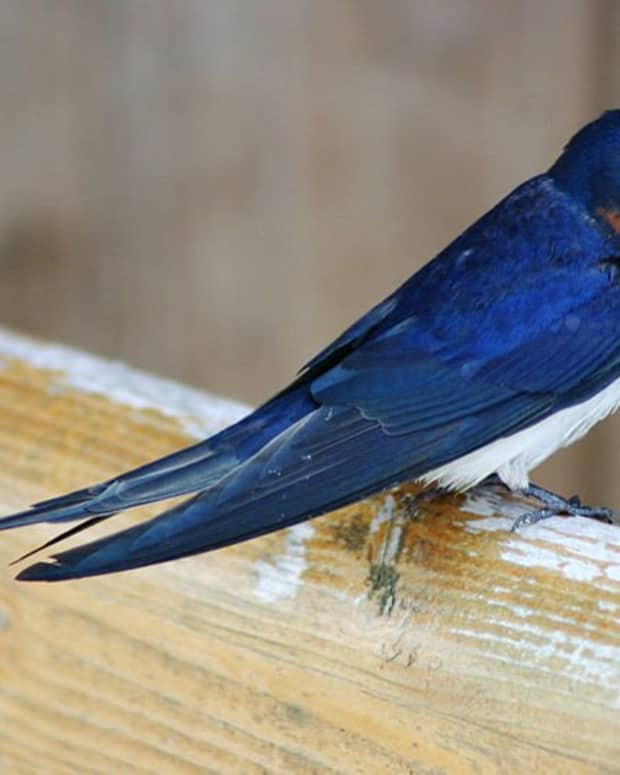 Many sailor tattoos were modeled after the blue Barn Swallow