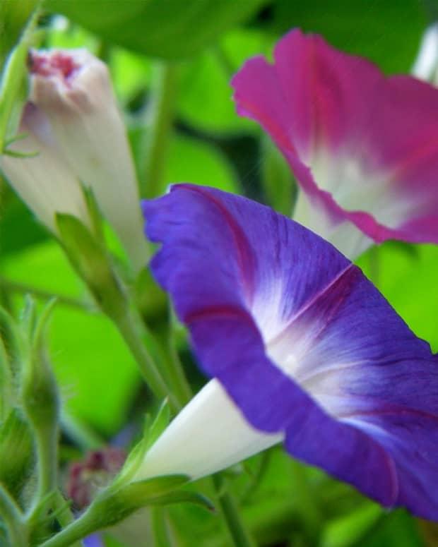 morninggloryflowertattoodesignsgalleryphotos