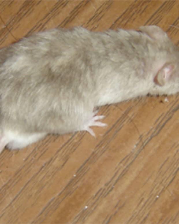 science-fair-mice-music