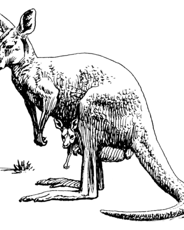 phantom-kangaroos-in-north-america