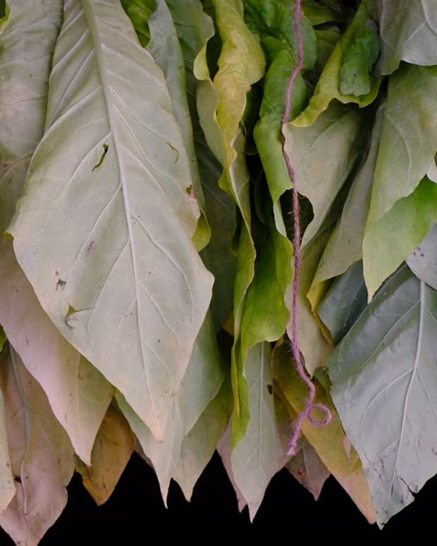 tobacco-growing-and-curing-at-home