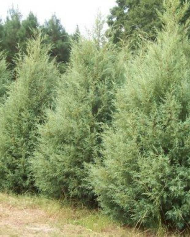 fast-growing-evergreens-for-quick-privacy