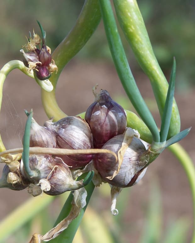 Egyptian Onions, also known as Top Onions, grow sets instead of flowers, at the top of the stem.