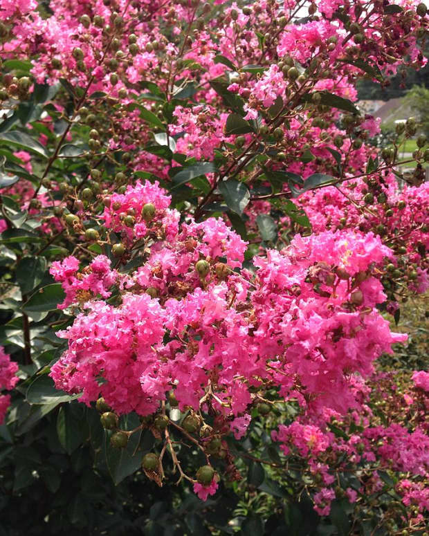 crape-myrtles-in-southern-landscapes