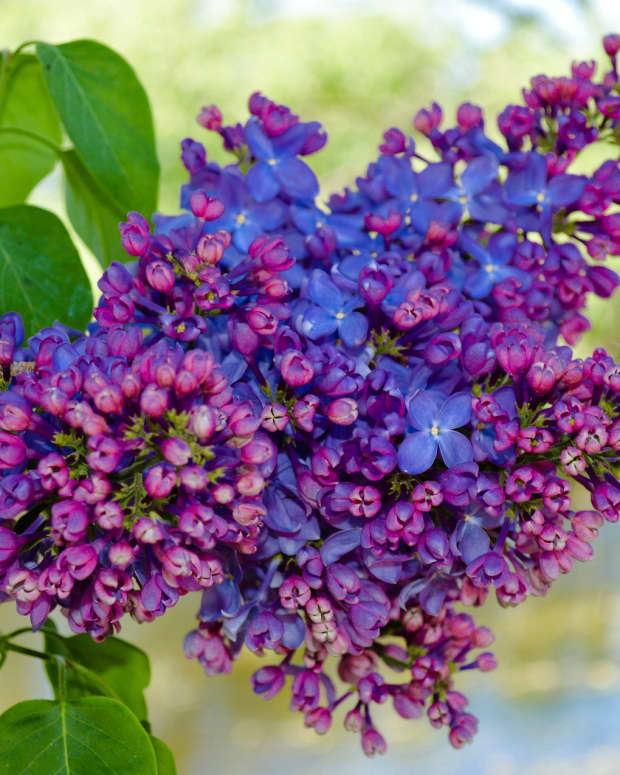 how-to-grow-lilac-bushes
