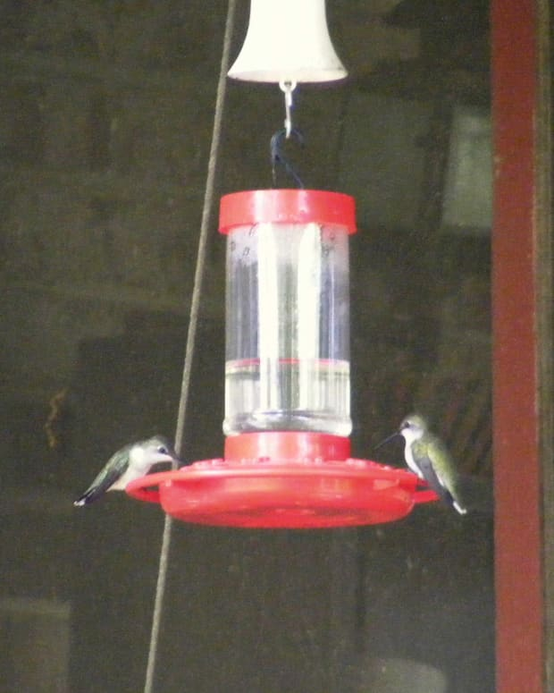 Hummingbirds on feeder