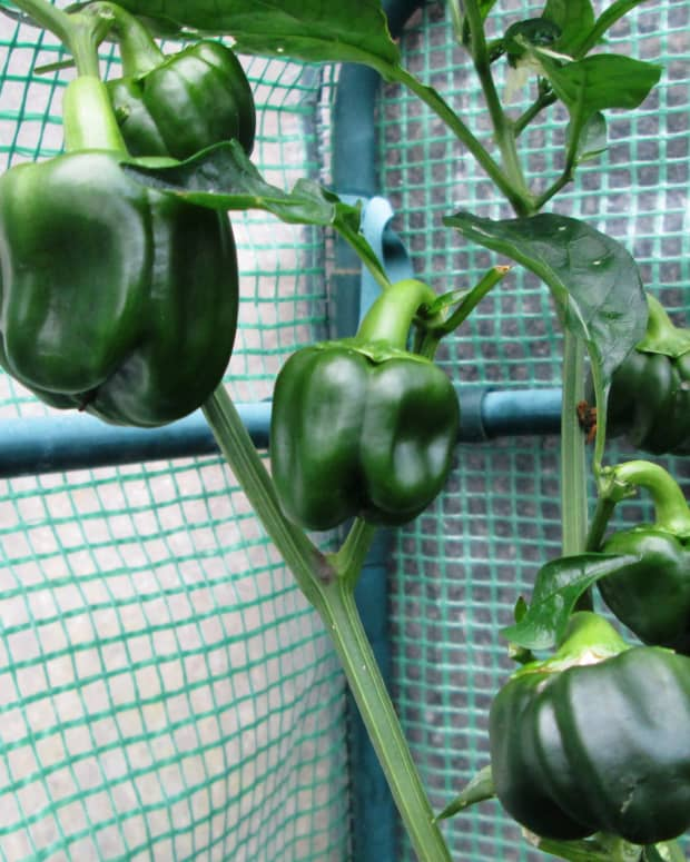 how-to-grow-peppers-in-a-small-garden-growing-vegetables-plant-pepper-seeds-or-containers
