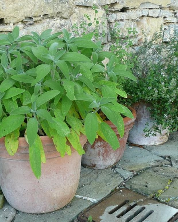 growing_herbs_in_pots