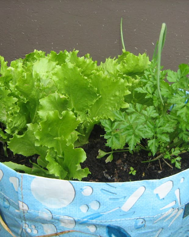 how-to-grow-lettuce-in-containers-growing-planting-seeds-container-pots-a-small-garden-patio-balcony-harvest-harvesting