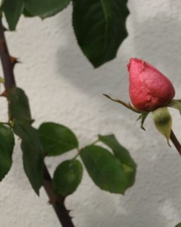 Pink rose bud / Photo by E. A. Wright
