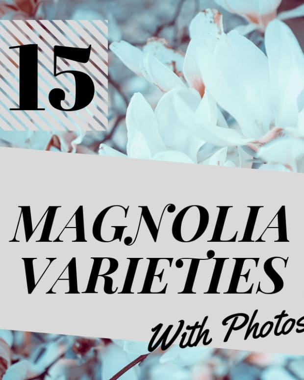 15-types-of-magolia-trees-and-shrubs-pictured
