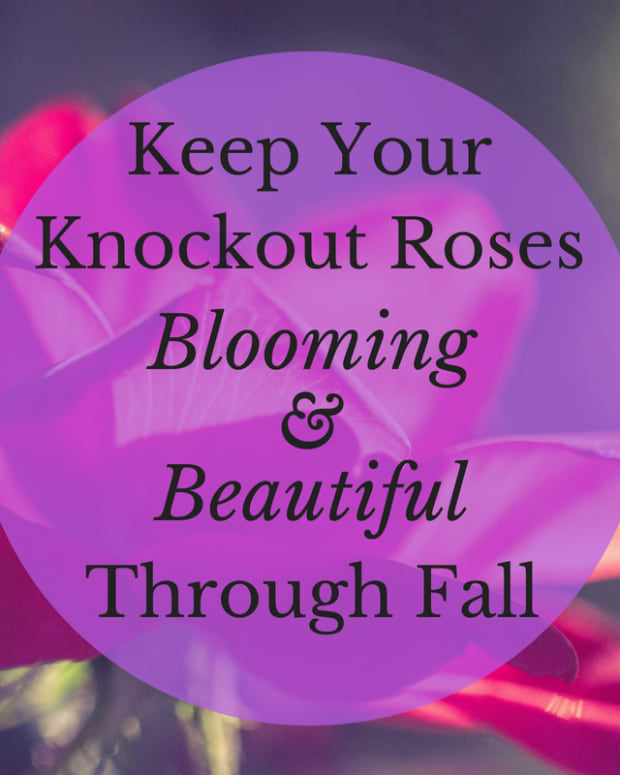 how-to-keep-knockout-roses-blooming-through-fall