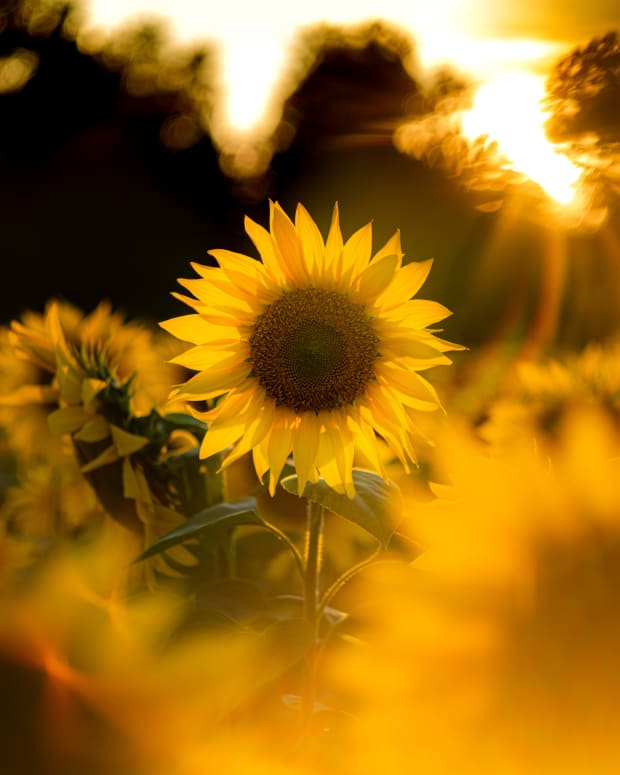 the-mysterious-secret-of-sunflower-tattoos