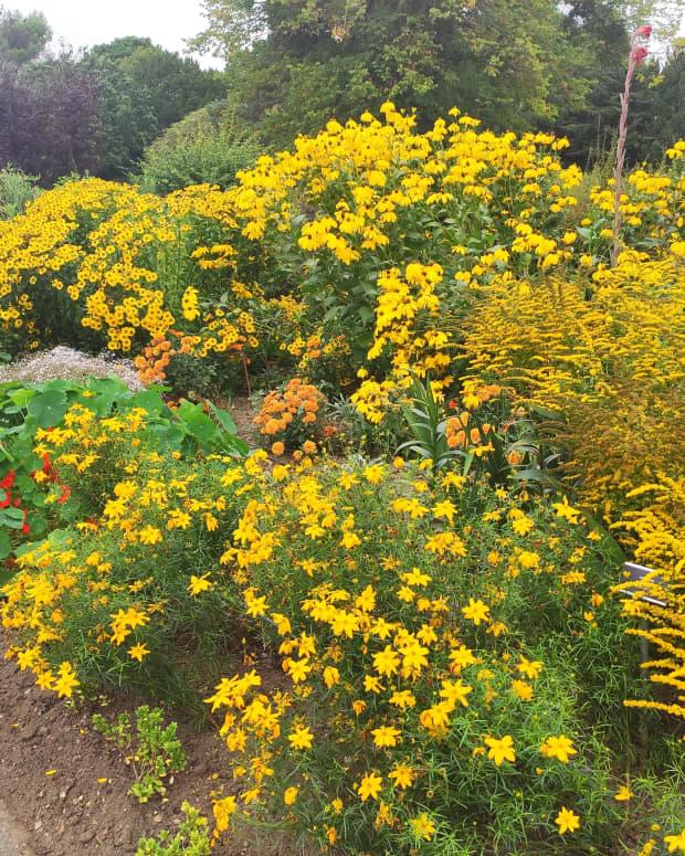 best-yellow-perennials-for-late-summer-gold-in-the-garden