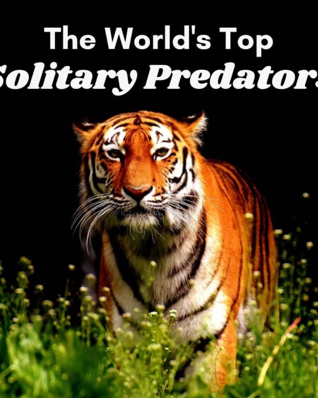 top-5-solitary-predators