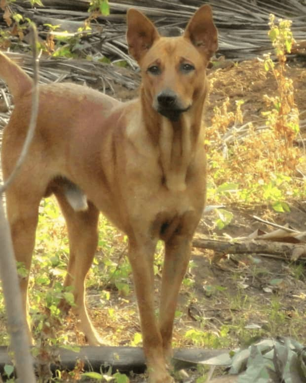 the-dogs-of-india-a-comprehensive-list-of-dogs-breeds-found-across-the-indian-subcontinent-and-their-present-day-state