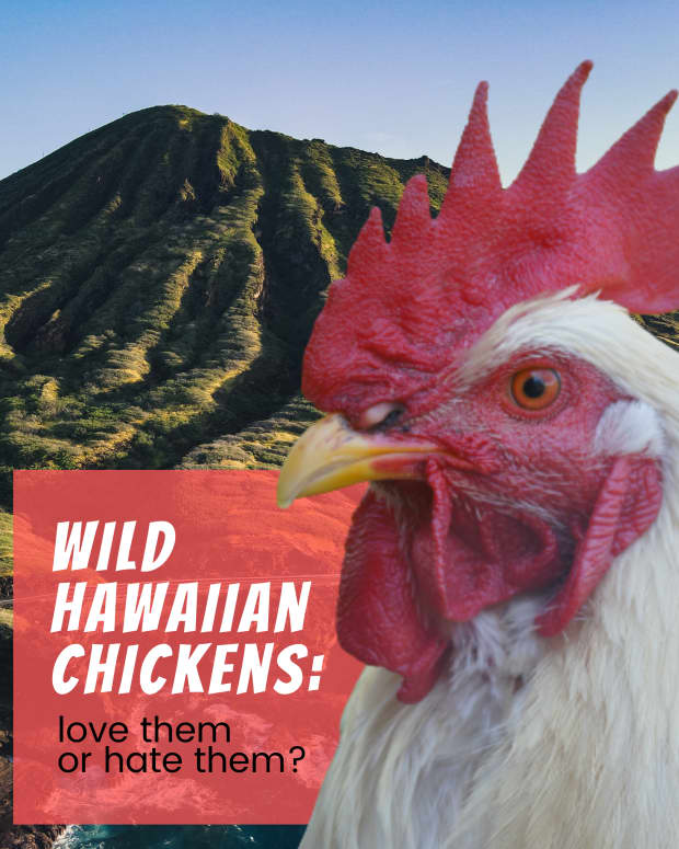 roosters-on-oahu-love-them-or-hate-them