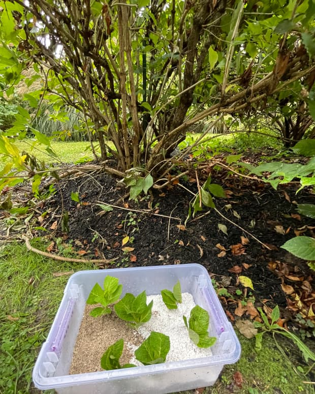 how-to-propagate-hydrangeas-from-cuttings