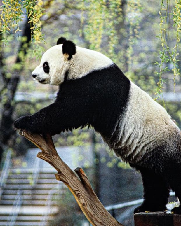 not-even-2000-confined-giant-pandas-within-the-whole-world-alive-in-china-red-panda-cute-panda-seems-to-be-more