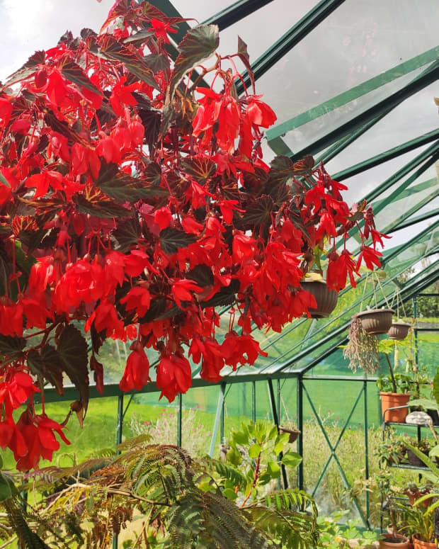 how-to-overwinter-begonias-in-cold-frosty-climates