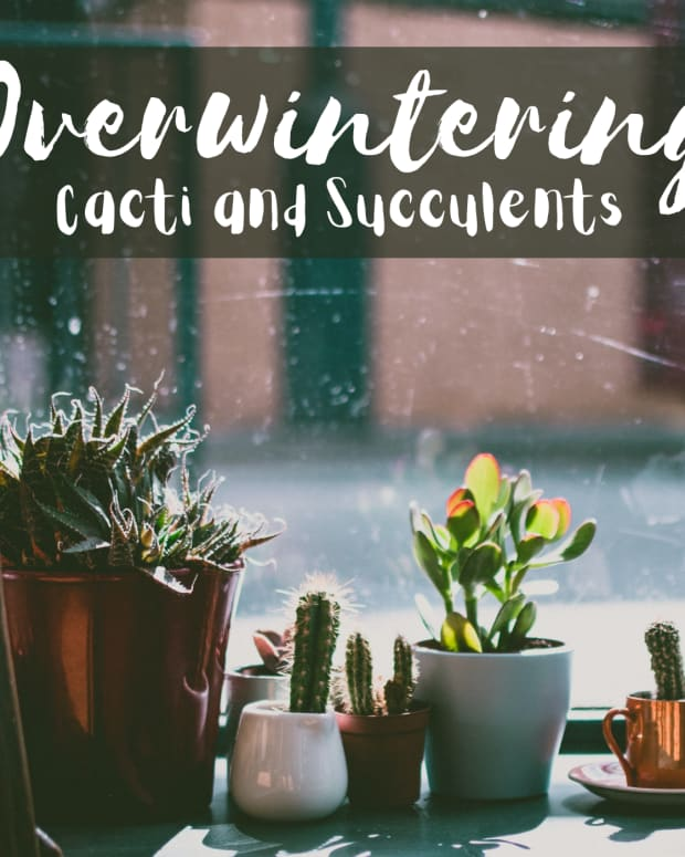 do-cacti-and-succulents-need-to-come-inside-for-the-winter