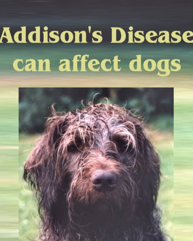 addison-disease-can-affect-dogs