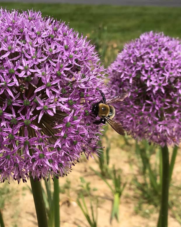 how-to-plant-allium-bulbs-in-your-garden-in-fall