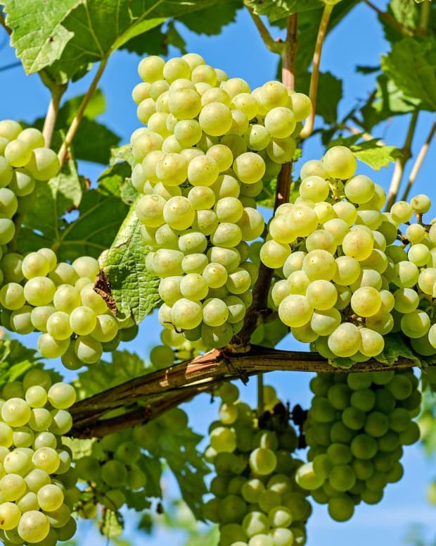 grape-seed-extracts-and-weight-loss