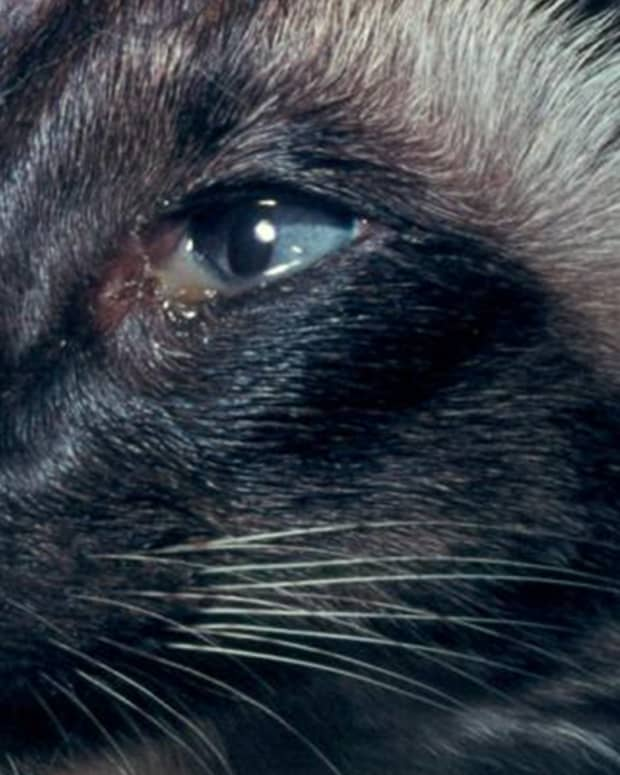 cat-eye-discharge-and-its-treatment