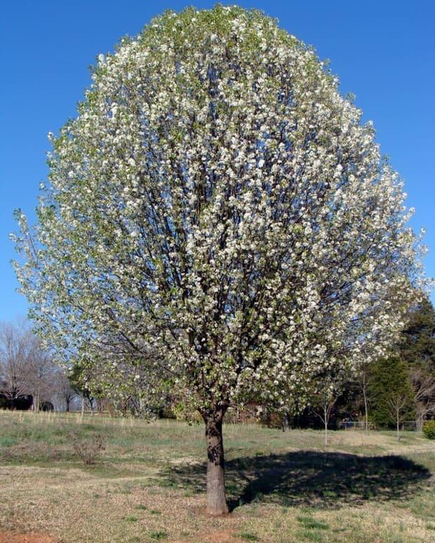 bradford-pear-invasive-tree-or-neighborhood-staple