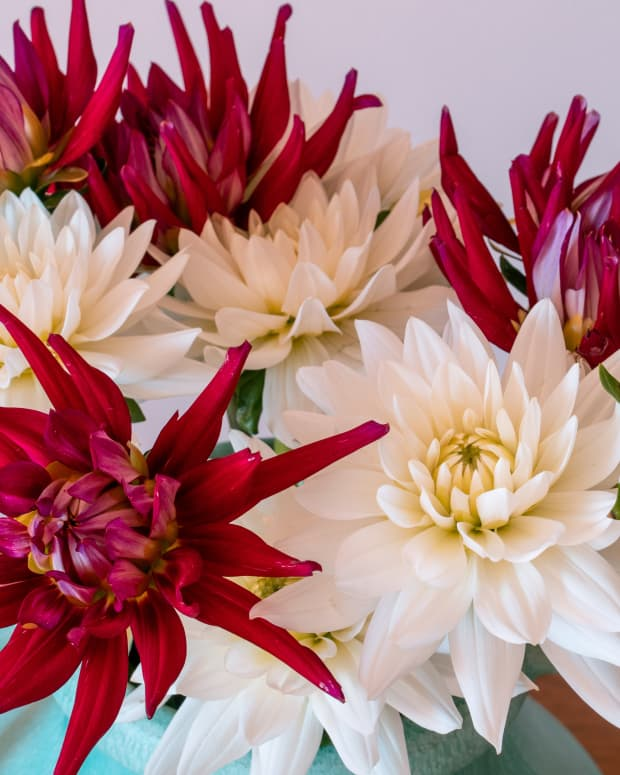 how-to-grow-dahlias-in-pots