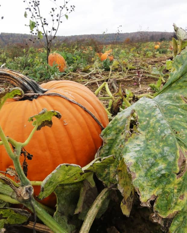 into-the-pumpkin-patch