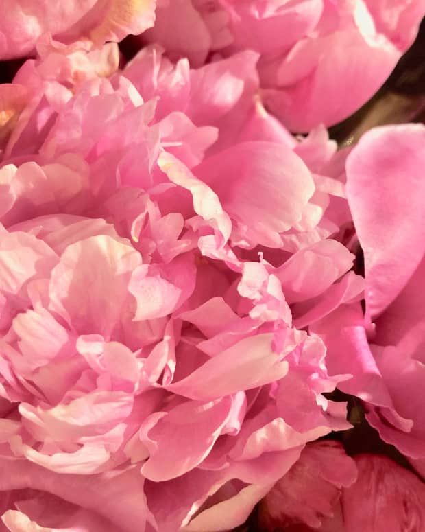 peonies-all-time-favorite