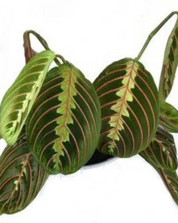 maranta-prayer-plant-drooping-causes-fix