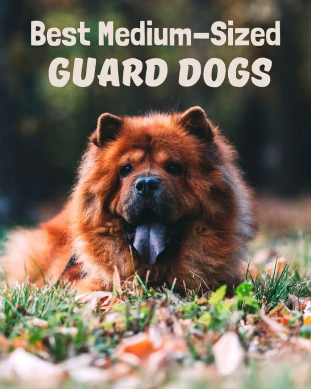 medium-dog-for-protection