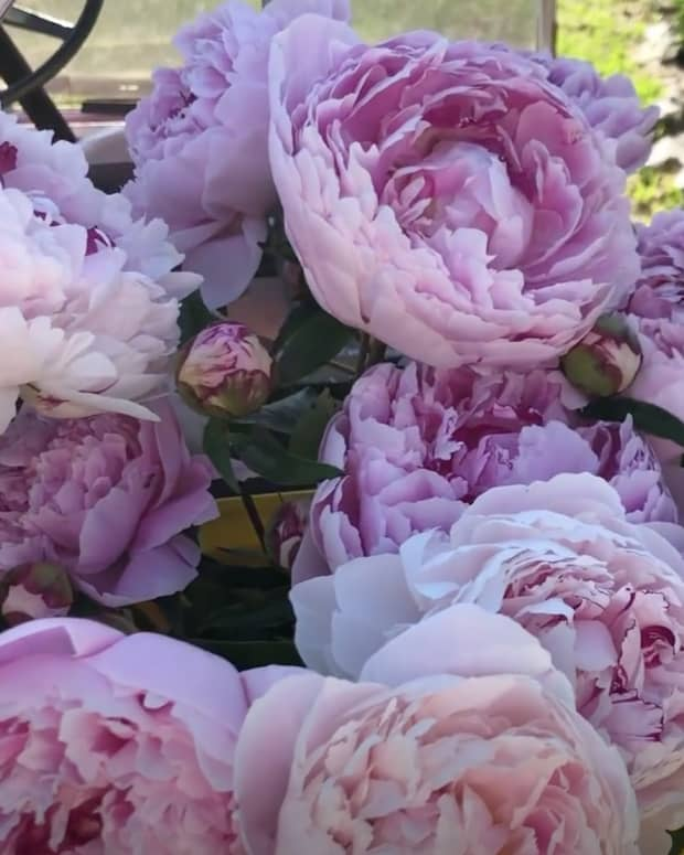 how-to-plant-peonies-a-step-by-step-guide