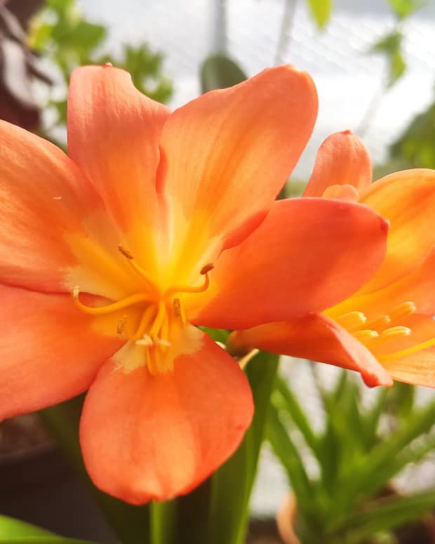 how-to-grow-and-successfully-reflower-clivia