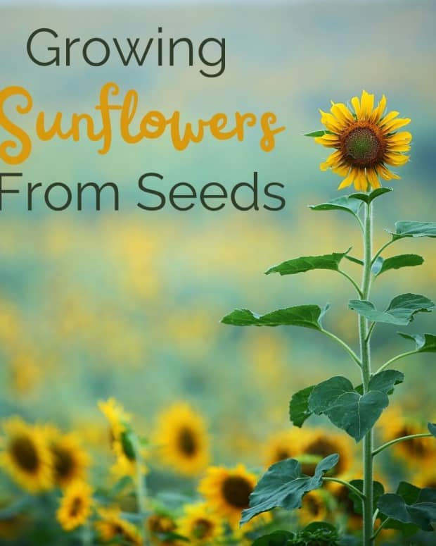 grow-sunflowers