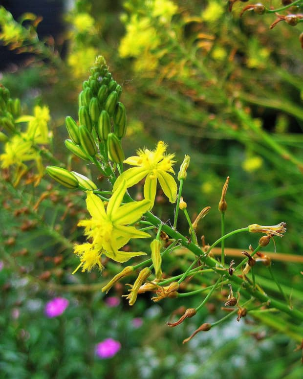 bulbine-frutescens-bulbinella-medicinal-uses-and-herbal-remedies