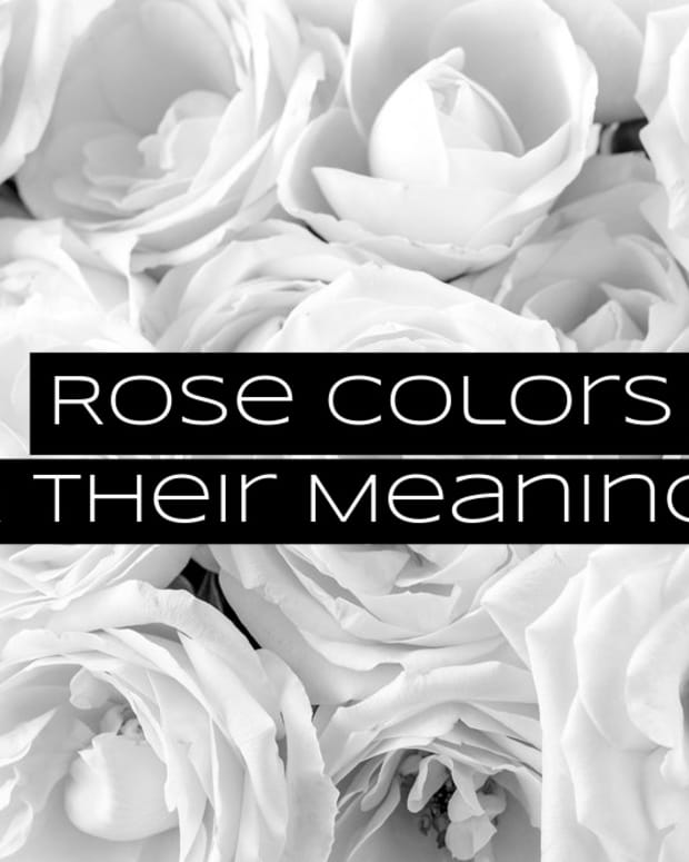 what-to-give-your-partner-rose-colors-and-their-meanings