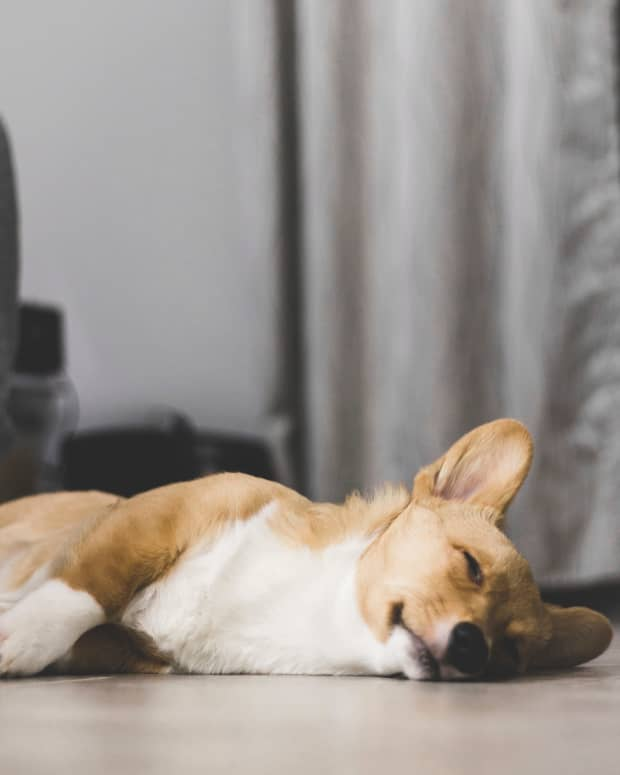 seizure-causes-and-treatment-in-dogs