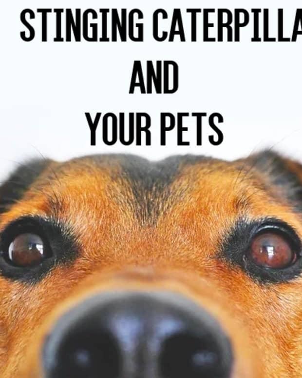 poisonous-caterpillar-sting-dog-cat-pets