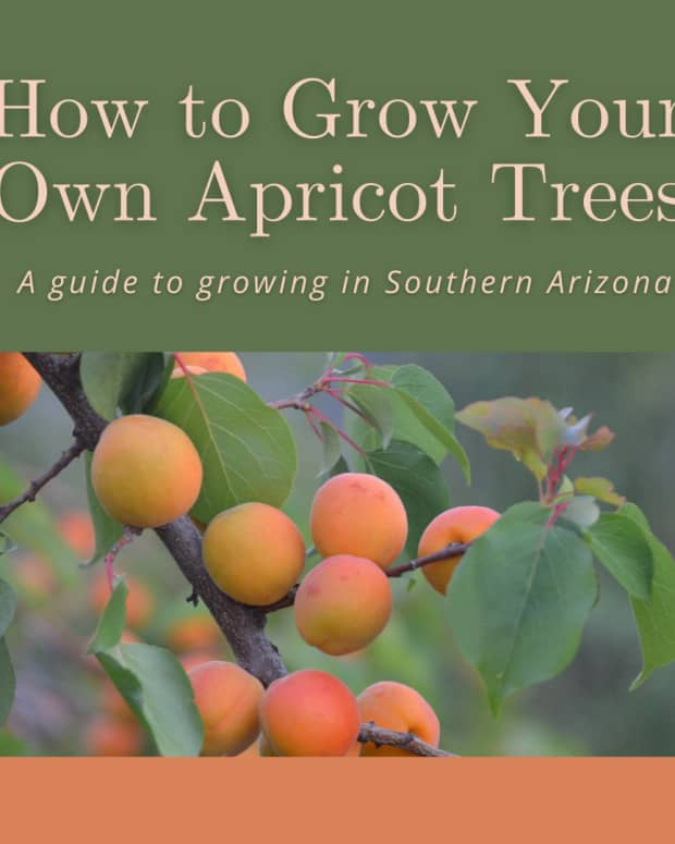how-to-grow-your-own-apricot-trees