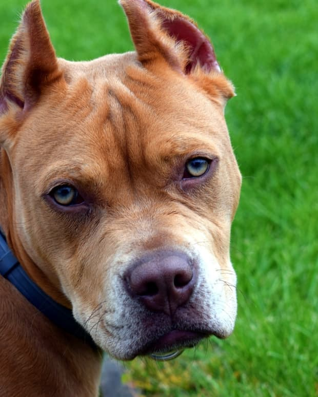 what-you-dont-know-about-the-most-misunderstood-dog