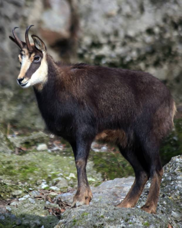 all-about-chamois