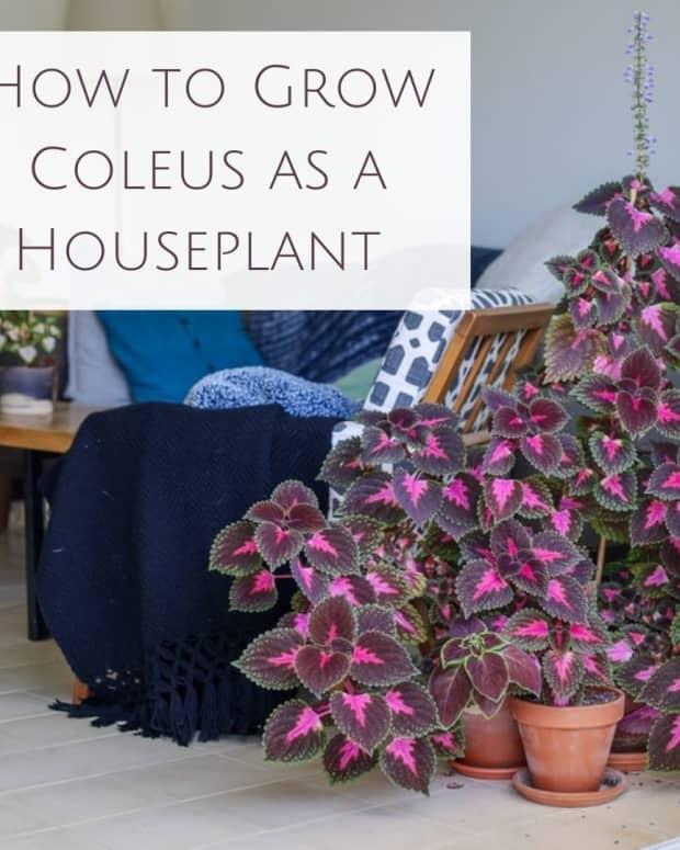 how-to-grow-coleus-as-a-house-plant